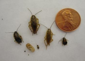 The German Cockroach